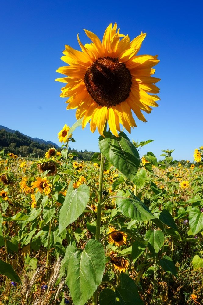 Sunflowers at the Cultus Lake Flower Festival
